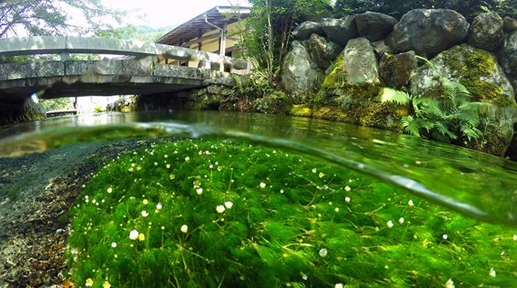 地蔵川の梅花藻(バイカモ)