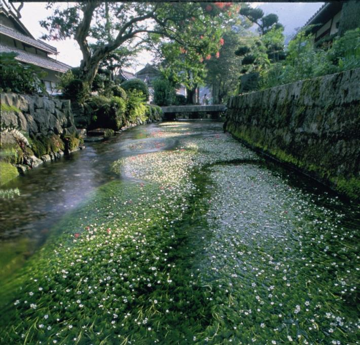 The Jizo River (water crowfoot)