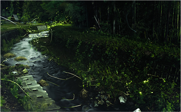 Fireflies in the Amano River