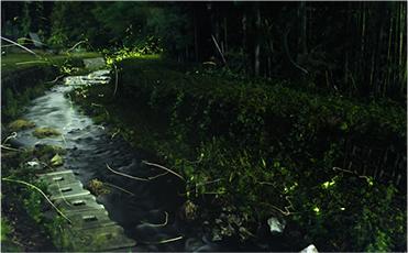 天野川的螢火蟲