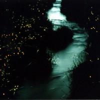 天野川のゲンジボタル