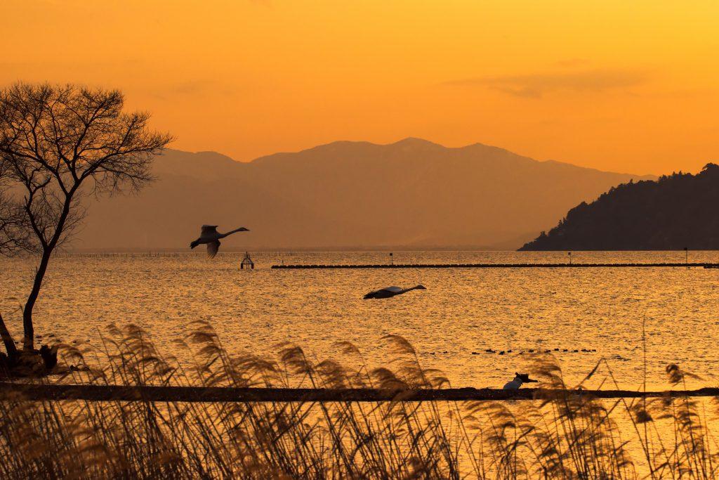 야생 조류 관찰 (코호쿠 야조(湖北野鳥) 센터)